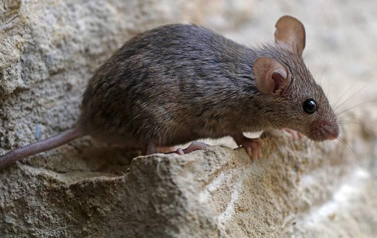 a mouse near a house foundation