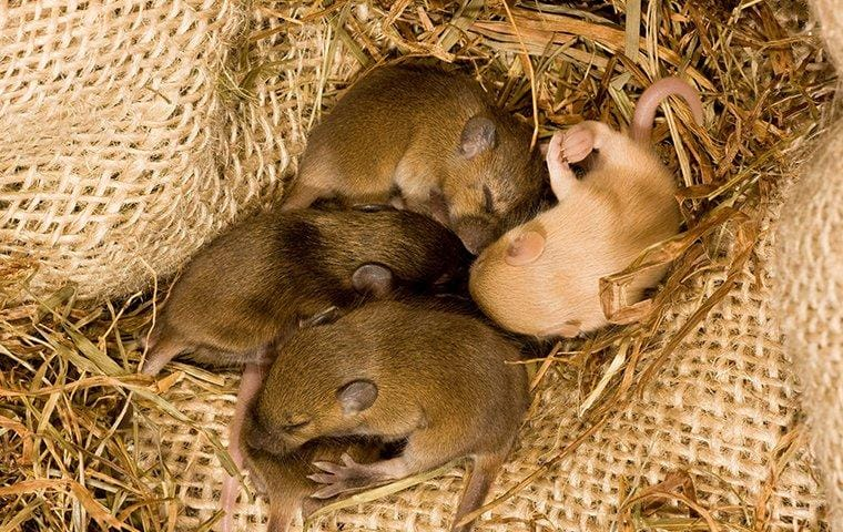 four baby mice in a nest inside a home