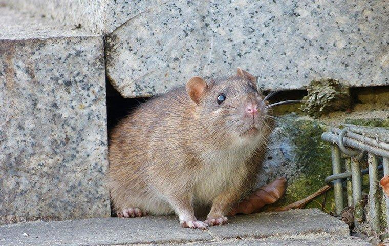 norway rat crawling near home foundation