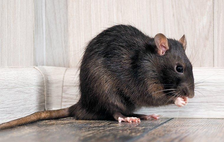 a rat sitting in a living room eating food