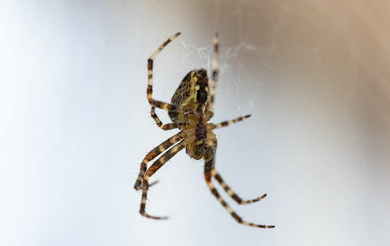 spider crawling in web