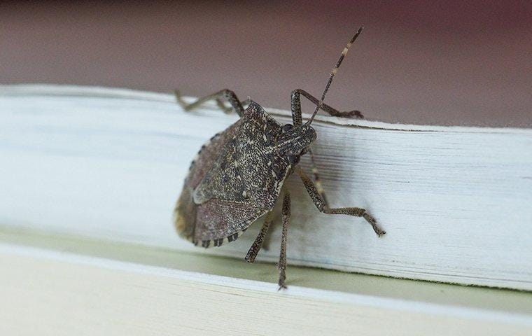 a brown stink bug crawling on house siding
