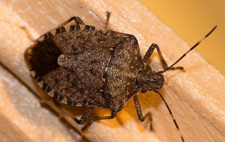 stink bug crawling on wood trim inside a home