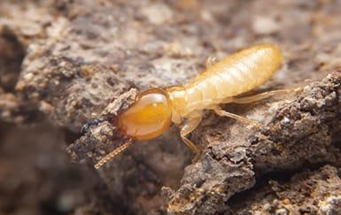 termite up close in tyler, texas