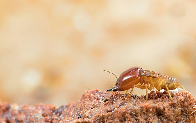 termite crawling on wood