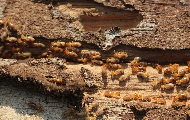 termites crawling in wood in a wall