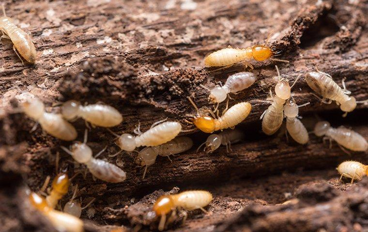 termites chewing wood in a house