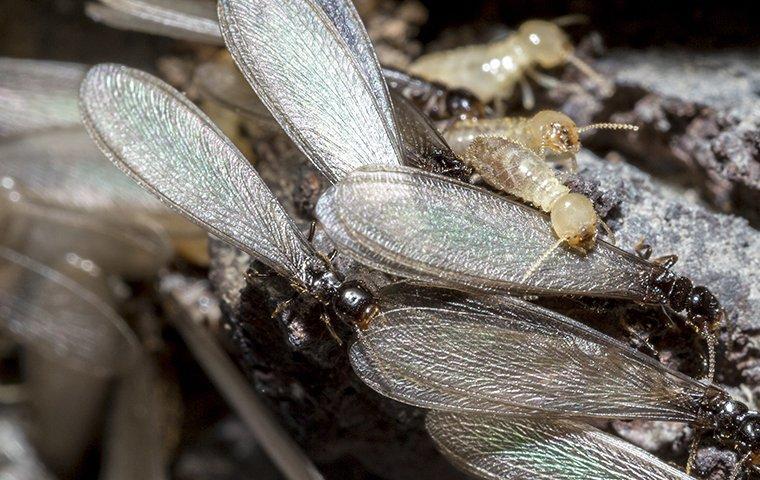 termites swarming near a home