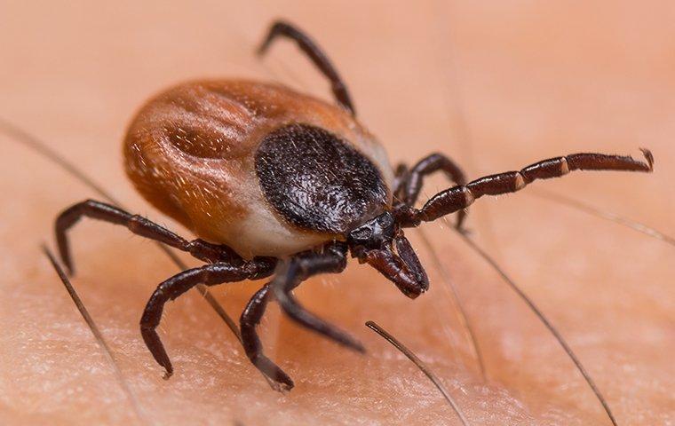 a tick crawling on skin