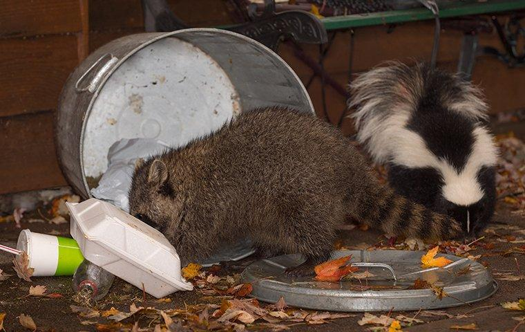 a raccoon and skunk getting into trash