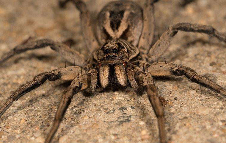 a wolf spider crawling on the ground
