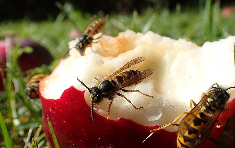 yellow jackets eating an apple on a lawn