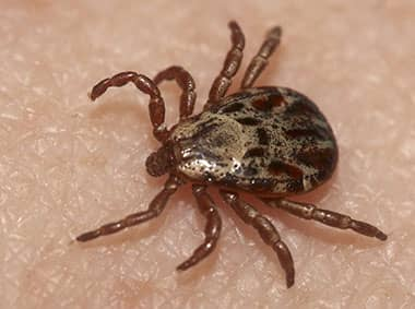 brown dog tick on a persons leg