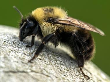 bumble bee on rock