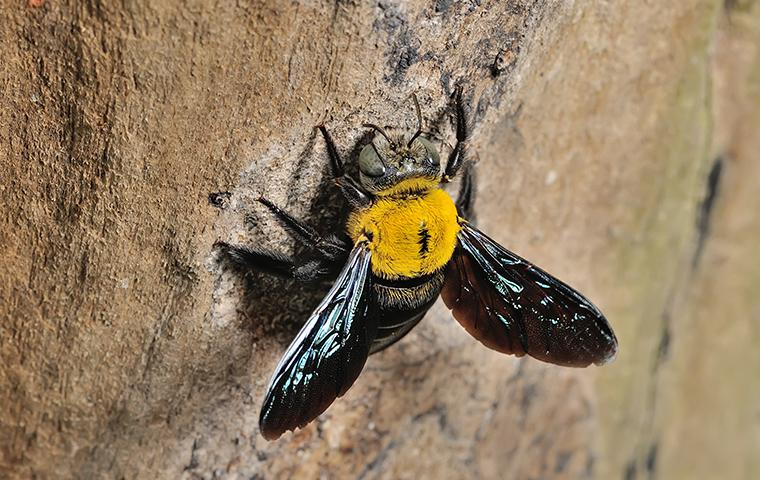 carpenter bee crawling on wood