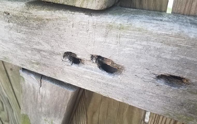 carpenter bee damaged wood