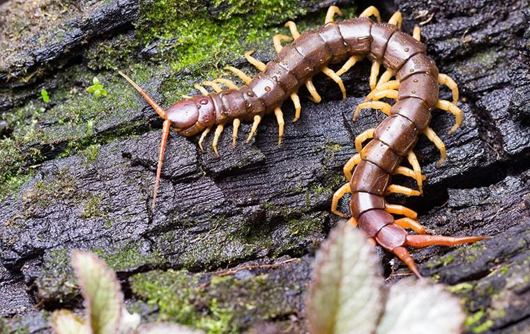 centipede on a log