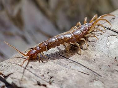 centipede crawling on a log