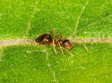crazy ant on a leaf