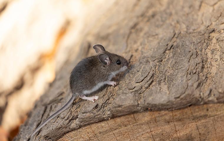 deer mouse climbing on firewood