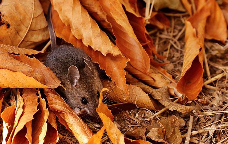 deer mouse crawling in leaf pile