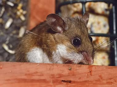 deer mouse in a pantry