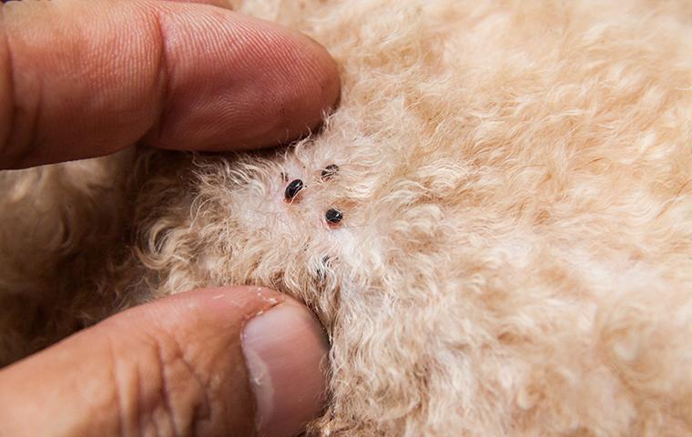 engorged fleas on dog
