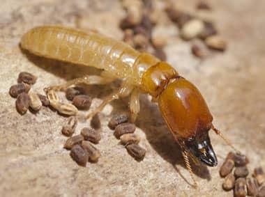 formosan termite on wood