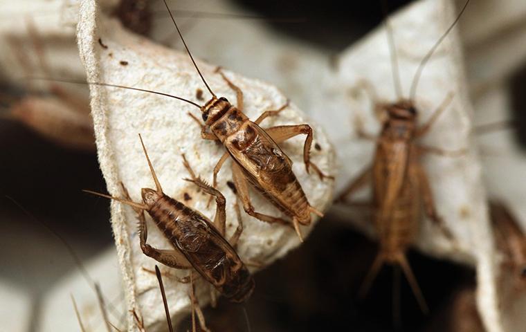 german cockroaches crawling on egg carton