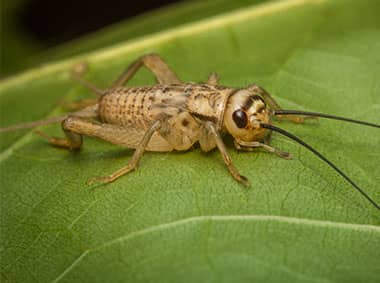 house cricket on a plant