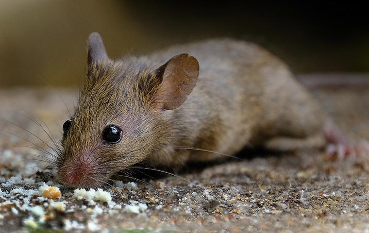 house mouse eating bread crumbs