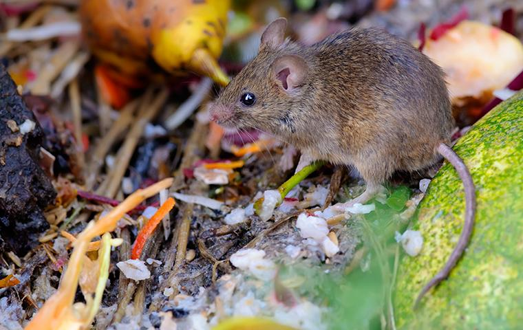 house mouse in yard debris