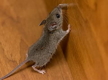 house mouse in a kitchen cabinet
