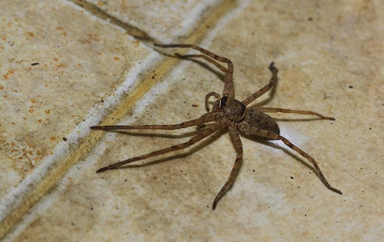 house spider crawling on kitchen floor