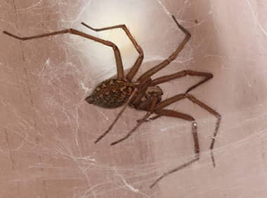 house spider in basement on a web