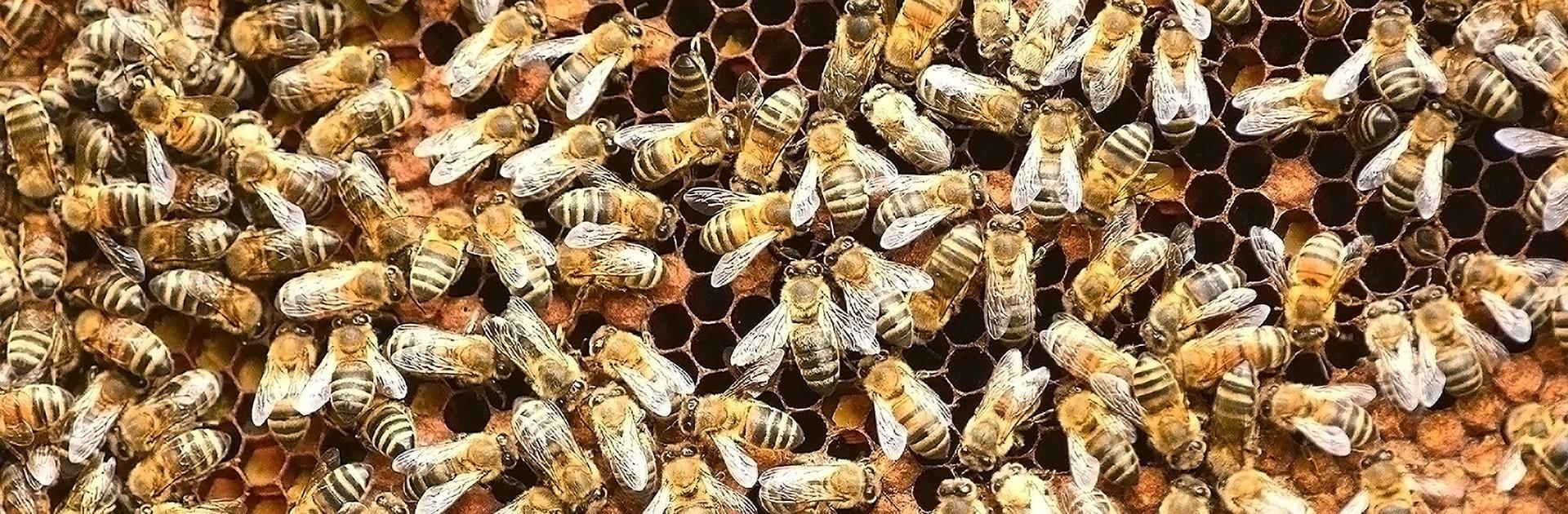 dozens of africanized honey bees on nest