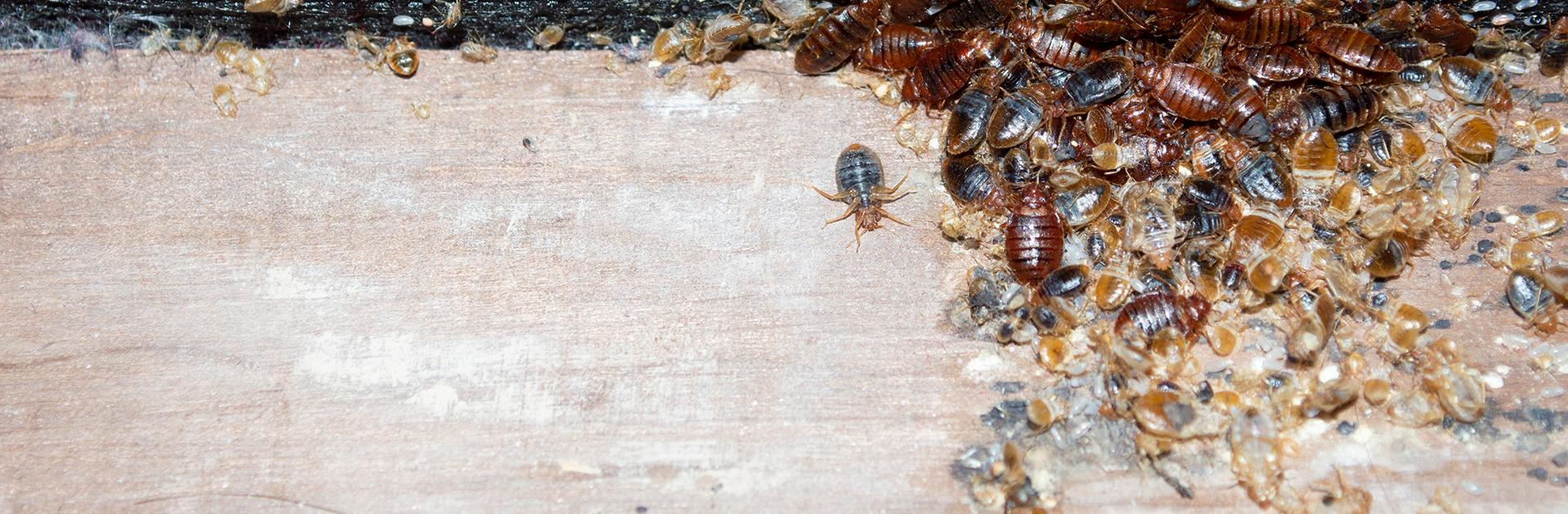 bed bugs infesting bed frame