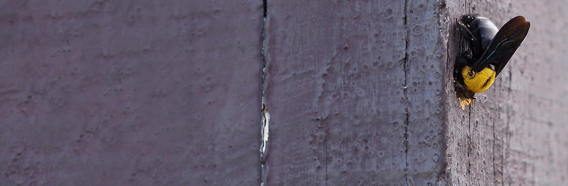 carpenter bee boring into wooden fence