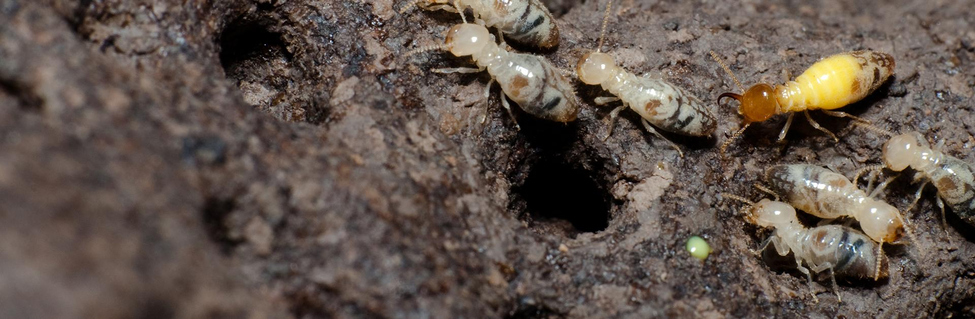 formosan termites damaging wood