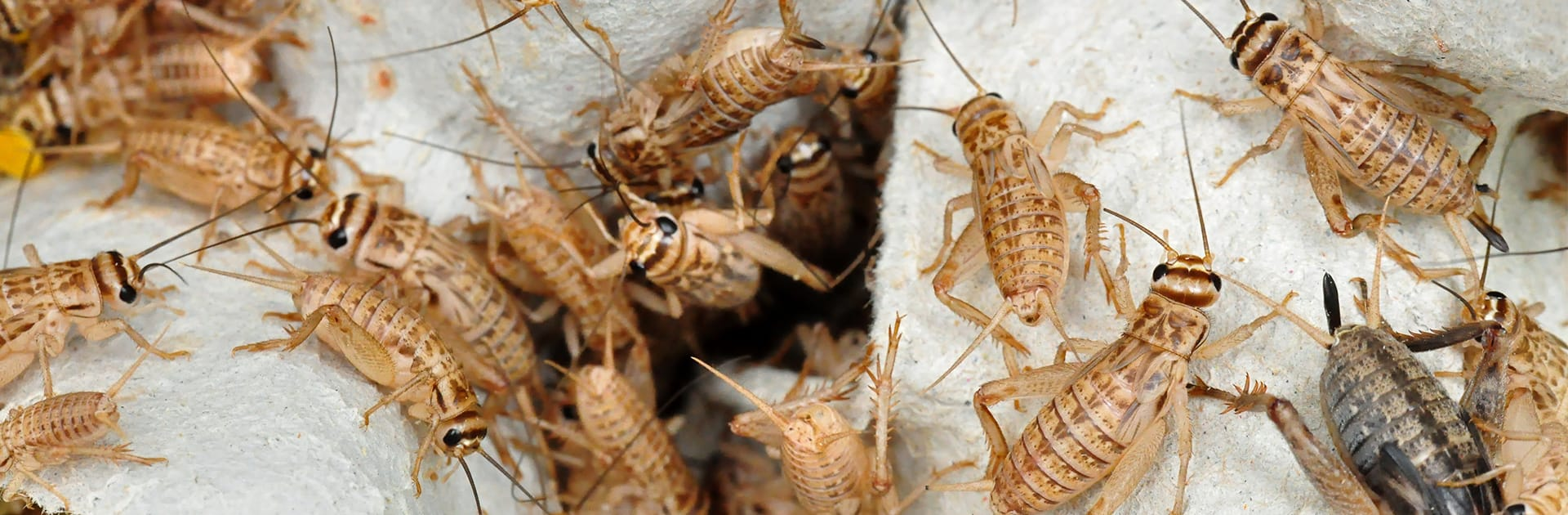 house crickets on cement
