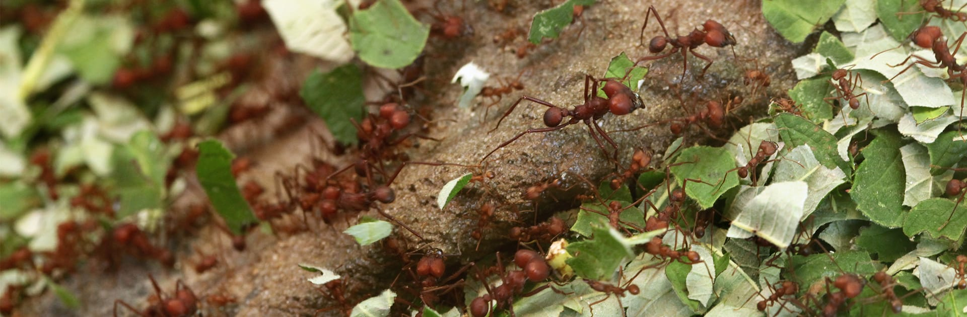 leafcutting ants carrying leaves