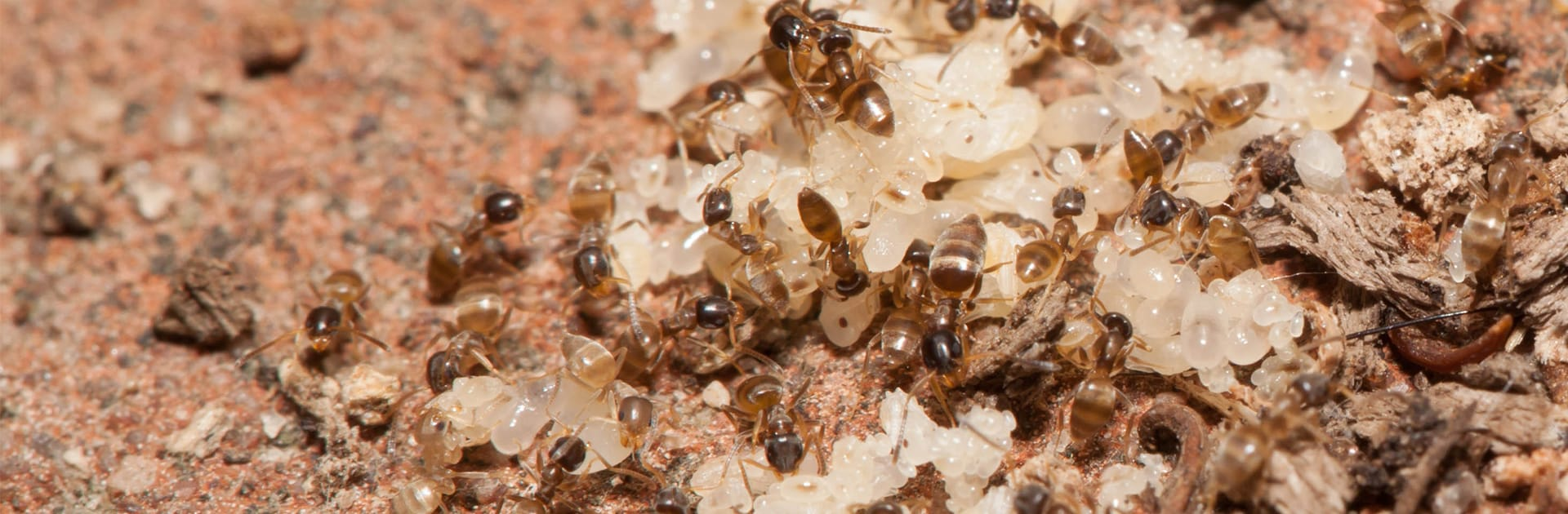 odorous house ants and eggs in yard