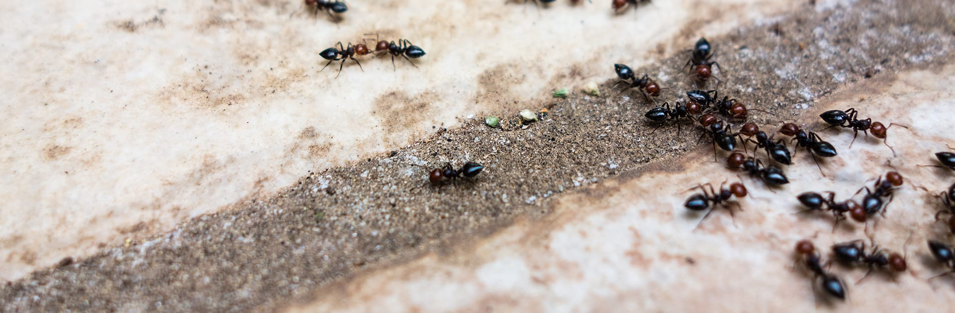 pavement ants crawling on the ground outside a home