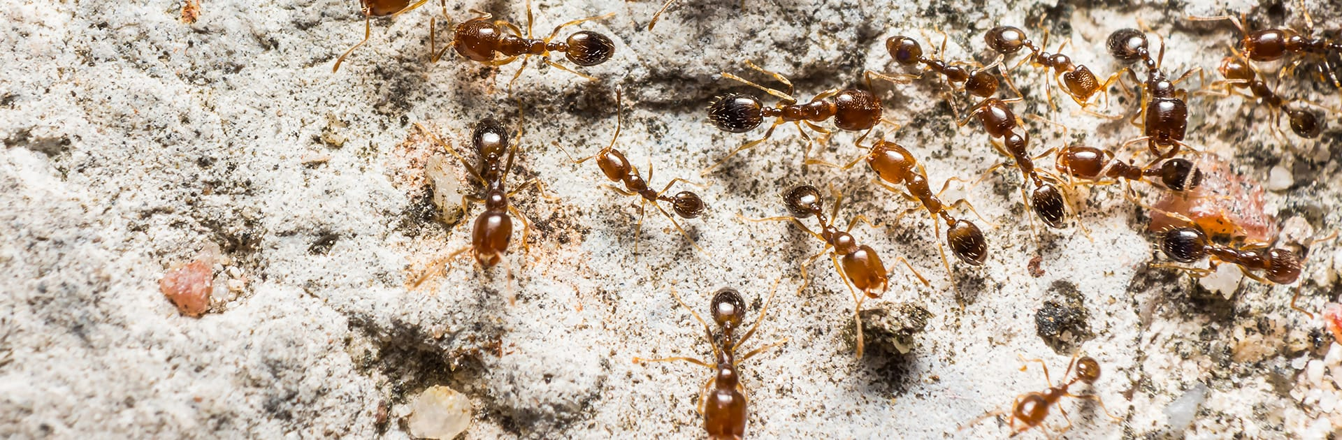 pharaoh ants crawling on a rock