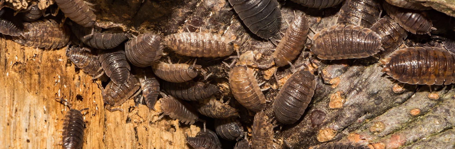 pillbugs crawling on a water damaged log