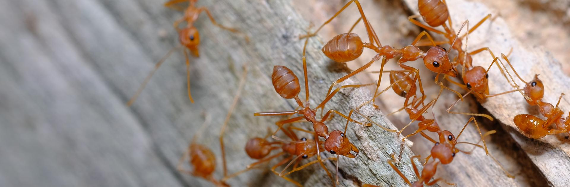 red fire ants on fallen tree
