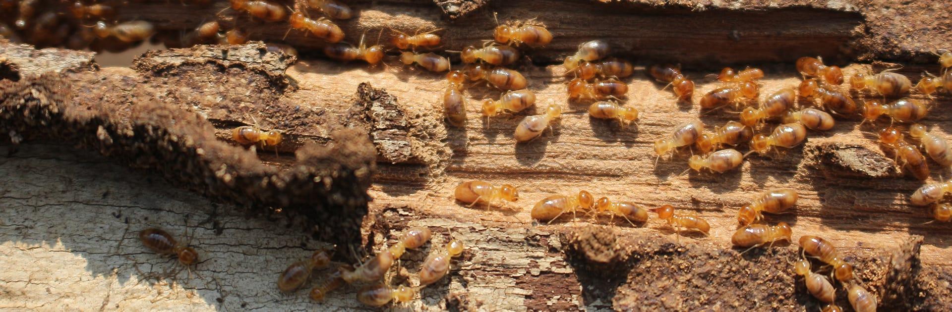 subterrenean termites eating wood
