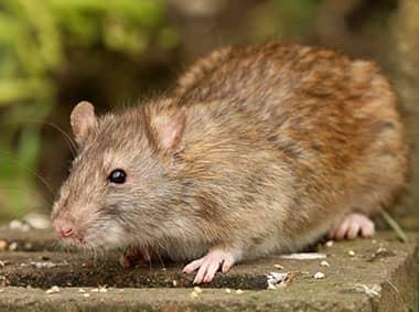 norway rat on cinder block