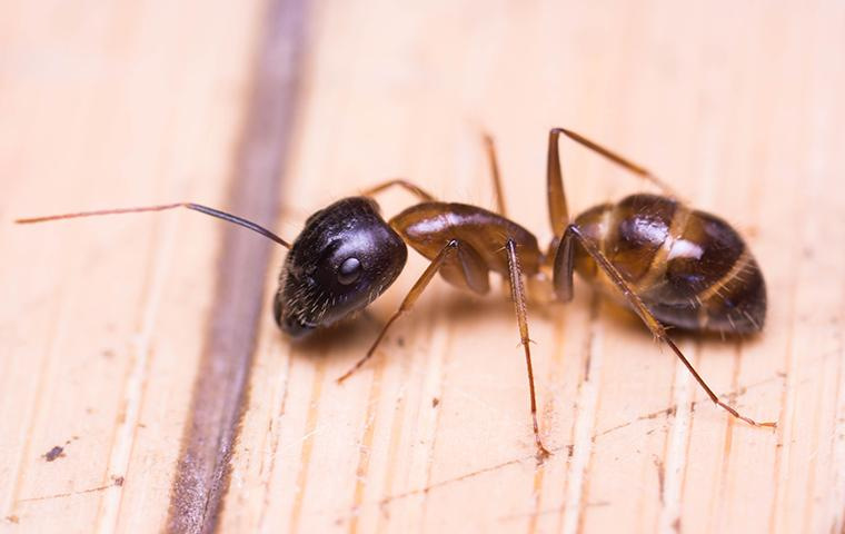 odorous house ant on wooden table
