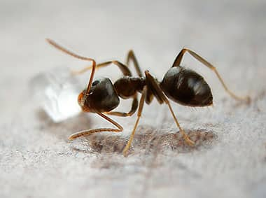 odorous house ant carrying food on kitchen floor